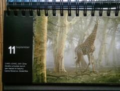 kalender giraffe 1