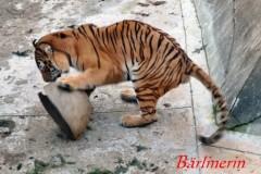 ball tiger 1